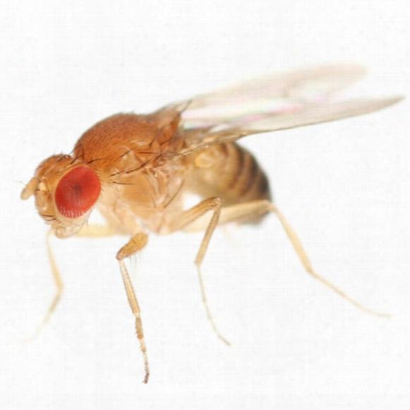 Timberline Fruit Fly Culture Kit - Drosophila Hydei
