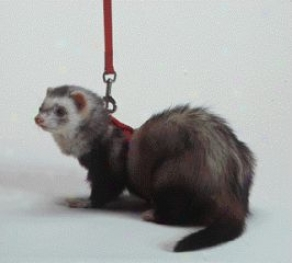 Harness And Lead Set For Ferrets